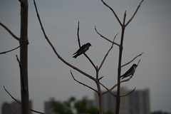 Barn swallows (Hirundo rustica) (WhatsAllThisThen) Tags: park hiking meadowlands barnswallows hirundorustica millcreekmarsh