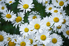 White Diasies Bunch 3 of 3 (Orbmiser) Tags: flowers oregon daisies portland spring nikon bunch daisy d90 55200vr