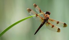 2013NJ 045 (gladner) Tags: dragonfly supershot specanimal 10nw coth5 5wonderwall sunrays5