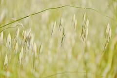Graslandschaft IV / Grass Landscape IV (Tinina67) Tags: wild france flower grass rural garden landscape weed frankreich farm south country seeds walker land tina gras ornamental landschaft garten ferme bauernhof gers unkraut tinina67