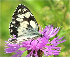 Marbled White.Butterfly2. Nikon D300s. DSC_1990. (Robert.Pittman) Tags: france butterfly melanargiagalathea marbledwhite marcillac marcillaclanville southwesternfrance d300s nikond300s yahoo:yourpictures=nature tamronaf70300mmf45dildmacro12lens 62mmhoyauvfilter charentedepartment