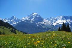 Beautiful Scenery of Murren (Yohsuke_NIKON_Japan) Tags: mountain alps flower nature beautiful yellow switzerland nikon europe swiss eu bluesky d60 murren