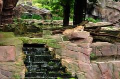 Afrikaanse leeuw - Panthera leo leo - African Lion (MrTDiddy) Tags: cat mammal cub big kat feline leo african lion young bigcat jong grote nestor leeuw panthera zoogdier welp afrikaanse grotekat