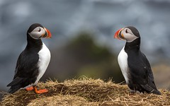J77A9785 -- Two Puffins face-to-face at Borgarfjrur-Eystri, on Iceland (Nils Axel Braathen) Tags: nature birds canon iceland expression wildlife ngc npc puffin soe lundi fugler oiseaux atlanticpuffin fraterculaarctica ilikeit pulcinelladimare papageitaucher lundefugl macareuxmoine itisaniceday photoroom avianexcellence vogeln commonpuffin frailecillocomn slicesoftime thebestofday gnneniyisi gnneniyisithebestofday perfectioninphotography panoramafotogrfico dragondaggeraward canon5dmarkiii bestcapturesaoi elitegalleryaoi mygearandme mygearandmepremium mygearandmebronze mygearandmesilver mygearandmegold mygearandmeplatinum mygearandmediamond hg~sb ringexcellence greaterphotographers dblringexcellence flickrbronzetrophygroup greatestphotographers tplringexcellence ultimatephotographers flickrstruereflection1 flickrstruereflection2 flickrstruereflection3 magicmomentsinyourlifelevel2 magicmomentsinyourlifelevel4 celebritiesofphotographyforrecreation vigilantphotographersunite vpu3 vpu4 vpu5 vpu7 vpu8 vpu9 vpu10 photographyforrecreationclassic pandaonflickr opentoallphotographers infinitexposure
