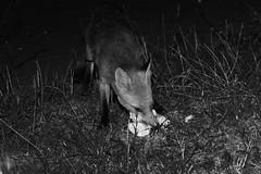 2K132148bw (Tyrone Williams) Tags: nightphotography red cute nature animal female night cub high lowlight nocturnal darkness natural feeding wildlife flash iso fox 7d feed foxes 580ex alert vixen scavenger highiso 400iso nightexposure 70200mm redfox scavenging agile flashsync 70200l canon70200lf4 bbcwales canon580ex 2013 wildfox canonef70200mmf4lusm canon70200f4usm canonef70200lf4usm isnight goldwildlife bbcwalesnature canon7d bbcnature canon70200lf4usm canon70200lf4nonis canonef70200lf4nonis canonef70200lnonis canonef70200lf4usmnonis canonef70200lusmf4nonis wildanimalwild feedingfoxes foxscavengernight scavengernight