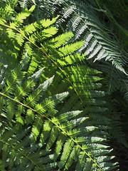 (Machicouly) Tags: wood paris fern verde green helecho forest vert bosque fort fontainebleau vegetal vegetacion fougre vgtation vgtal