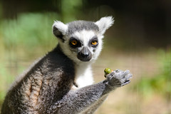 Ring Tailed Lemur with an Acorn (Eric Kilby) Tags: zoo eating massachusetts ring acorn lemur tailed southwicks