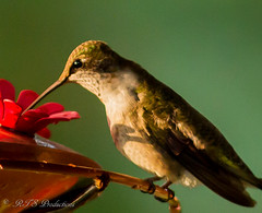 Ruby Throat Hummingbird (Rick Smotherman) Tags: summer stpeters nature birds canon garden outdoors morninglight backyard hummingbird feeding wildlife feeder september 7d canon300mmf4l missouribirds canon7d