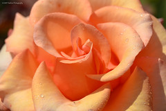 Water Rose (Timeless Photography2) Tags: pink flowers mist flower water rose photography petals nikon waterdrop center drop p timeless the pinkpetals of timelessphotography d3100 timelessphotography2