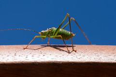 Punktierte Zartschrecke (Koedir) Tags: brown macro green olympus grn braun blau makro bluw omd em1 punktiertezartschrecke koedir