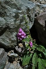 Naparstnica Purpurowa (Digitalis Purpurea) (Filip Kata) Tags: france mountains gr20 corsica francja