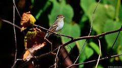 Chipping Sparrow (Spizella passerina) (Steve Arena) Tags: bird sparrow migration songbird migrating eastham migrant chippingsparrow spizellapasserina chsp stumpdump