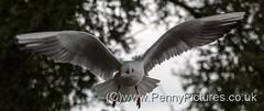 Blackheaded Gull (12) (Dennis_Penny) Tags: birds rivers lochs