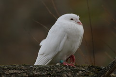 There's no place like home (Diane Marshman) Tags: autumn white tree bird fall nature birds foot branch pennsylvania pigeon wildlife leg birding feathers band pa northeast northeastern banded homing