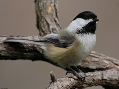 Wonder What's Going On (Diane Marshman) Tags: autumn white black tree bird fall nature face up birds dark fantastic wings eyes branch close head pennsylvania wildlife chest side small birding gray beak tan picture pa cap chickadee underneath throat northeast capped northeastern