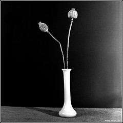 Dry Poppy. Yashica-B, ORWO NP22, exp:1992. (Andrey Maltsev) Tags: old bw plant flower 120 6x6 film canon scan 120film scanned dryflower expiredfilm dryflowers orwo bwfilm middleformat 8800 blackandwhitefilm iso125 orwonp22 yashicab np22 blackandwhiteflower canon8800f