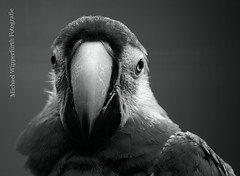 Papagei (Michael Wipperfrth Fotografie) Tags: bw white black bird fauna zoo parrot sw schwarzweiss papagei vogel solingen vogelpark