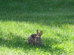 Bunny in the backyard (Lan's images) Tags: june2012