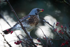 Fieldfare (Paul Tymon) Tags: vision:outdoor=0699
