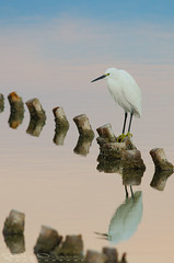 Egret@sunset (Jokermanssx) Tags: egret cagliari molentargius egrettagarzetta sardinya quartuse riccardodeiana