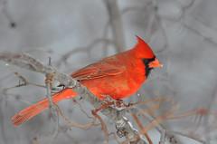 Cardinal (kingarfer) Tags: snowflake winter red bird cardinal wing beak crest perched redbird cardinalis angrybirds