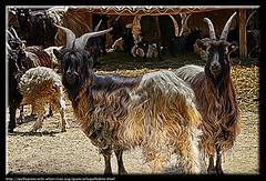 capre (gallogiancarlo) Tags: photography photo fotografie picture manipulations photographic goats hdr highdynamicrange capre tonalrange postproduzione altagammadinamica elaborazionefotografica photographicprocessing