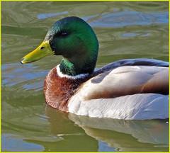 duck duckswimming mallardwater fowlmorning lightva hospitaldgrahamphoto