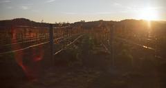 Vineyard V ('SeraphimC) Tags: california sunset beauty vineyards napavalley