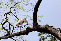 Lonely Stork (grass-lifeisgood) Tags: tree bird nature animal canon is long wildlife branches leg watching telephoto ii lonely ef stork 70200mm f28l