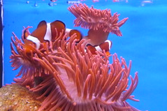 Common clownfish, Nemo (Alta alatis patent) Tags: zoo blijdorp nemo amphiprionocellaris driebandanemoonvis harlekijnvis clownvis commonclownfish