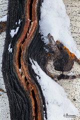 Power Curve (jpeder55) Tags: trees winter snow abstract pattern bark wyoming grandtetonnationalpark jpedersenphotography vision:outdoor=0933