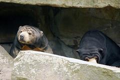 Malaienbren Maika und Bumipol im Zoo Berlin (catnip254) Tags: zoo maika br zooberlin sunbear bumipol malaienbr