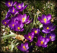 winter sleep is over! (MissyPenny) Tags: flowers catchycolors spring flora purple crocus southeasternpa bristolpennsylvania