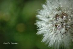 Dandelion (Terezaki ) Tags: life travel light white plant flower macro green art nature colors closeup geotagged photography photo spring nikon day fotografie searchthebest d70 bokeh live details illumination hellas athens dandelion greece pictureperfect naturesfinest ncg location4 fiora 100faves 150favs 50faves cration 100favs 200favs fantasticflower anawesomeshot flickrdiamond theperfectphotographer