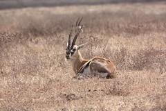 Sitting Grant's Gazelle