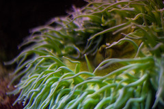 anemone (janesdaughter) Tags: ocean anemone oceano anmona