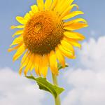 Single sunflower thumbnail