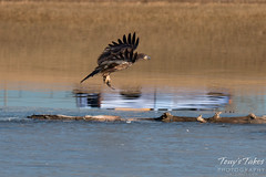 Juvenile Bald Eagle Dashes and Dines - 5 of 6