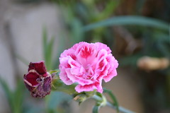 Clavellinas tras la nevada (esta_ahi) Tags: barcelona pink espaa flores spain flora flor dianthus peneds clavel caryophyllaceae clavellina subirats  cultivadas