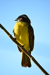 Bentivi (Vin Brito) Tags: bird passarinho pssaro bentivi