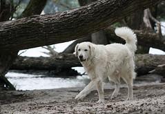 Yoban 201408 cl (flashingfuchur) Tags: dog chien cane germany deutschland perro hund enzo westhighlandwhiteterrier rhine kuvasz rheinmain yoban