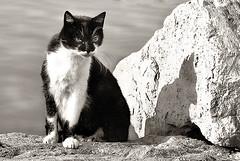 tom-cat (aliberati) Tags: cat gatti bianconero