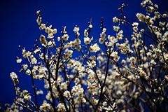 Japanese white apricot (ai3310X) Tags: m42  carlzeiss  tessar 50mmf28