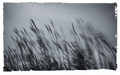 _NIK1071 (nikdanna) Tags: blackandwhite blur nature reeds wind natura bianconero vento canne mosso interno7 nikdanna
