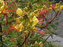 Caesalpinia gilliesii (pat.bluey) Tags: flowers ngc australia newsouthwales 1001nights caesalpiniagilliesii warilla flckraward 1001nightsmagiccity