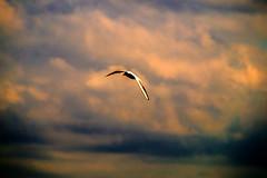 DSC07085 (fidel_barto) Tags: bird clouds germany landscape deutschland outdoor sony balticsea landschaft ostsee usedom sonyalphaslta58