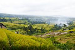 sawah 15 (Fakhri Anindita) Tags: bali nature field indonesia landscape photography nikon farm ubud sawah jatiluwih