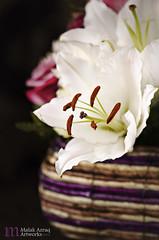 White Lily (Malak Azraq) Tags: lighting pink flowers stilllife white flower macro yellow photography nikon lily bouquet 105mm miccro d7000 malakazraq maryamjassim
