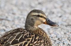 Mallard (careth@2012) Tags: bird nature duck wildlife beak feathers headshot mallard