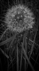Day 149, 2016, a photo a day. (lizzieisdizzy) Tags: whiteandblack outside outdoor dandelion dentesdelion weed dandelionclock clock flffy seed seeds seedpod